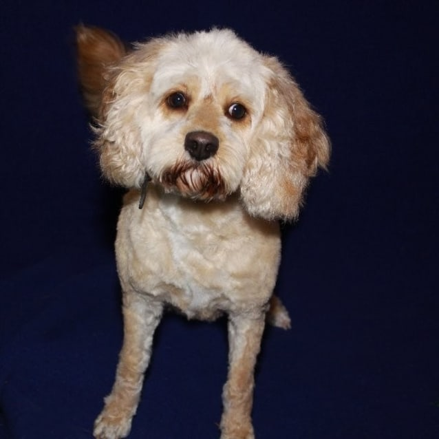 Toby Medium Male Cavoodle Mix Dog In Vic Petrescue