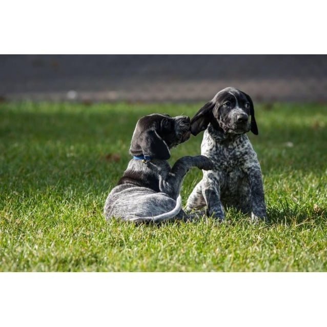 Gsp puppies - Medium Male German Shorthaired Pointer Dog in