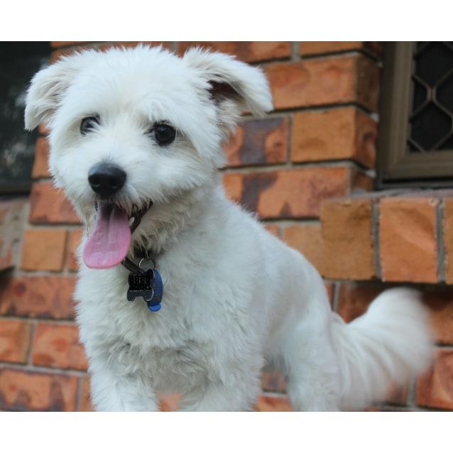 Jeffy - Small Male Bichon Frise x Maltese Dog in QLD - PetRescue