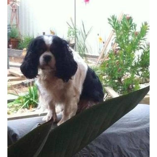 Honey - Small Female Cavalier King Charles Spaniel Dog in