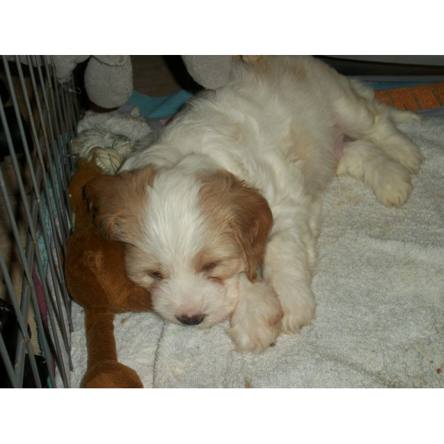 Photo of Samson ~ Foxie X King Charles