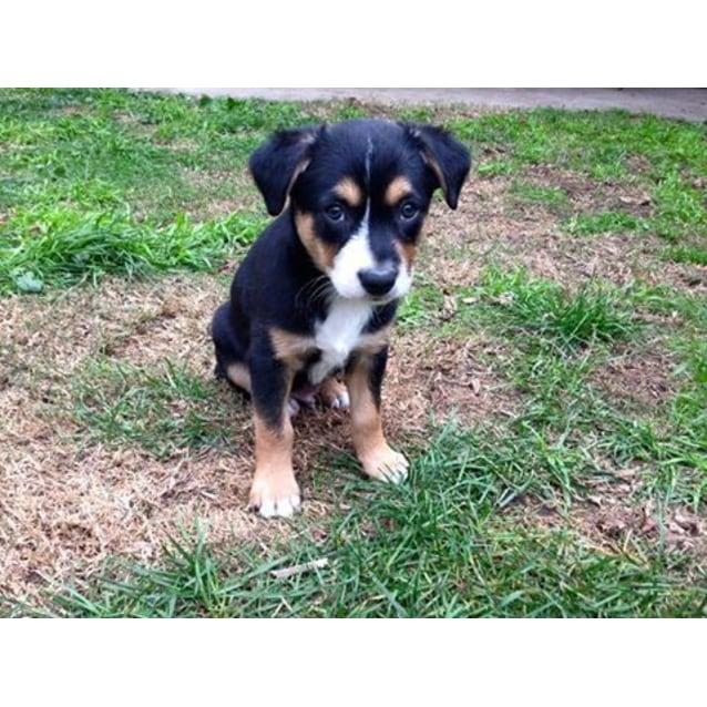 Bronson - Medium Male Australian Cattle Dog x Husky x Kelpie