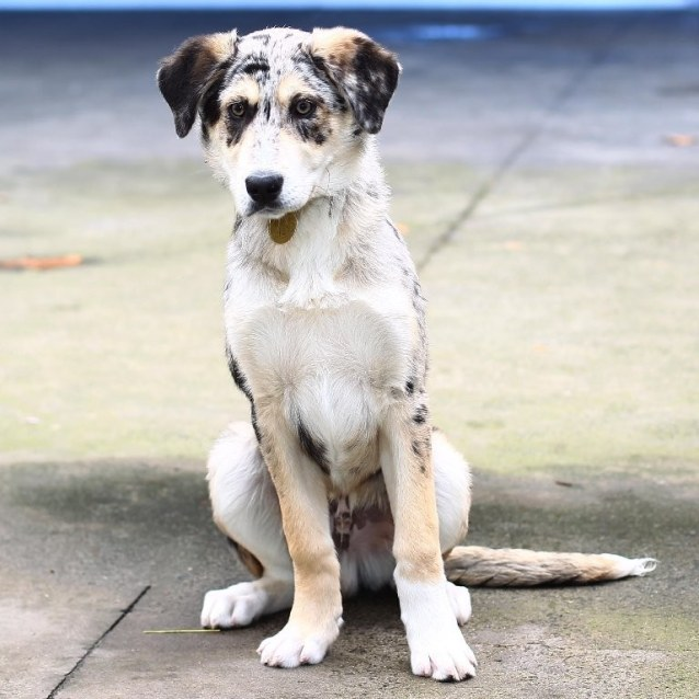Klaus - Large Male German Coolie Mix Dog in VIC - PetRescue