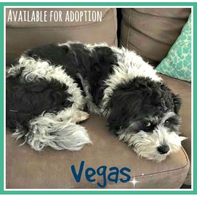 Photo of Vegas ~ Shih Tzu X (Trial 7/11/15)