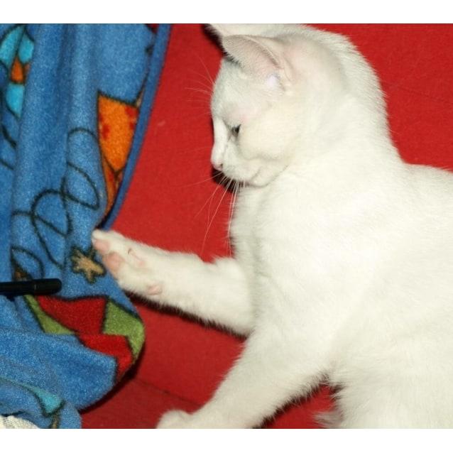 Photo of Curlea Kitten