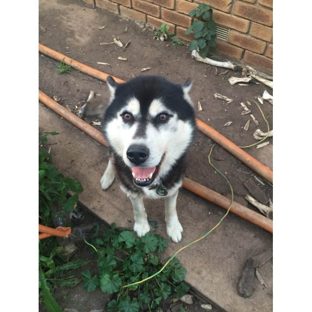 Davross - Medium Male Siberian Husky Dog in VIC - PetRescue
