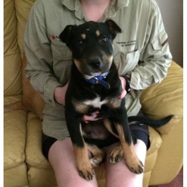d2d348414496 Oskar - Medium Male Kelpie x Shar Pei Dog in NSW - PetRescue