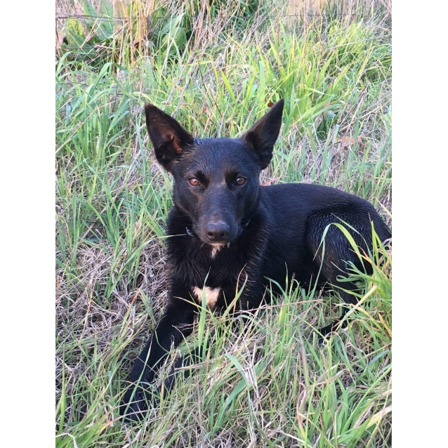 7f6d2410183e5 Toby - Medium Male Kelpie Mix Dog in NSW - PetRescue