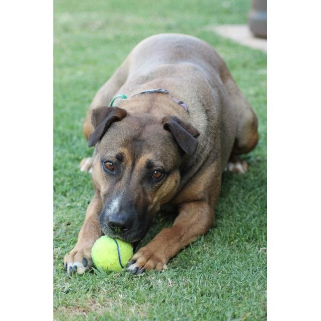 Kobi Large Female Bull Arab X German Shepherd X Rhodesian Ridgeback Mix Dog In Nsw Petrescue