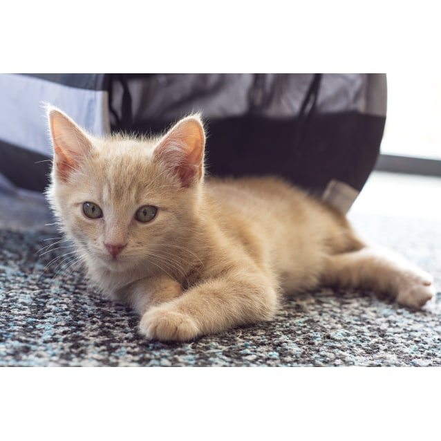 Photo of Johnny Storm **2nd Chance Cat Rescue**