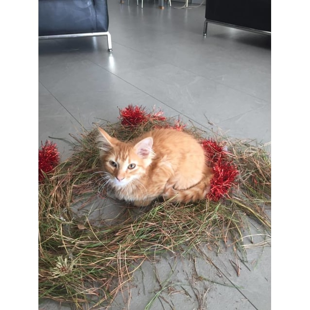 Photo of Pablo The Fluffy Ginger Boy
