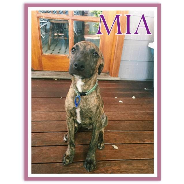 Photo of Mia ~ Whippet X (On Trial 21/08/16)