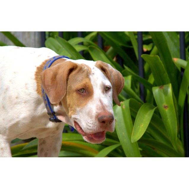 Photo of Bruce ~ Bull Arab ~ Puppy (On Trial 29/2/16)