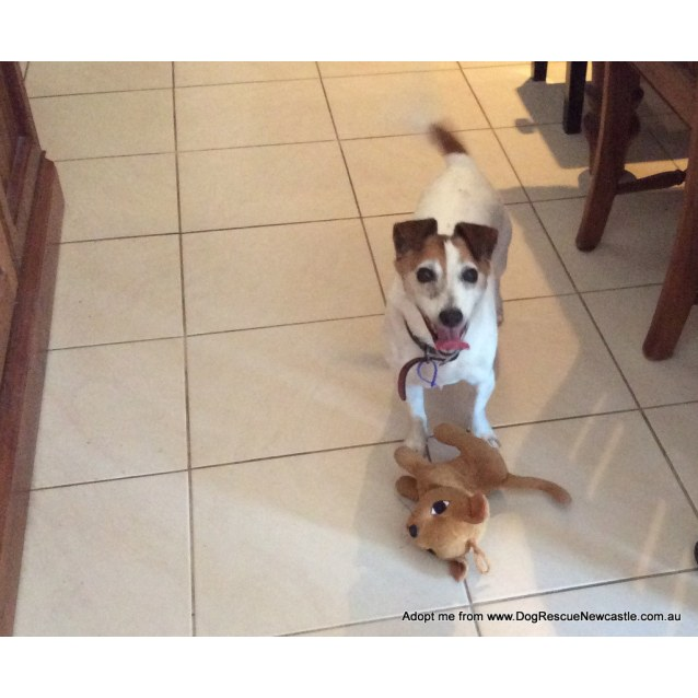 Photo of Cherry ~ Jack Russell (Adopted By Carer 19/3/16)