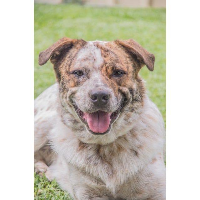 Photo of Bentley ~ Red Cattle Dog X (On Trial 11/07/16)