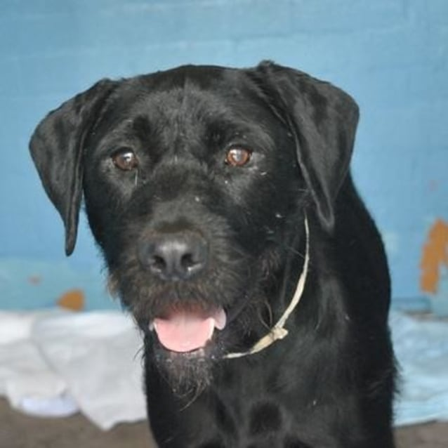 Boris 840685 Large Male German Wirehaired Pointer X Labrador Dog