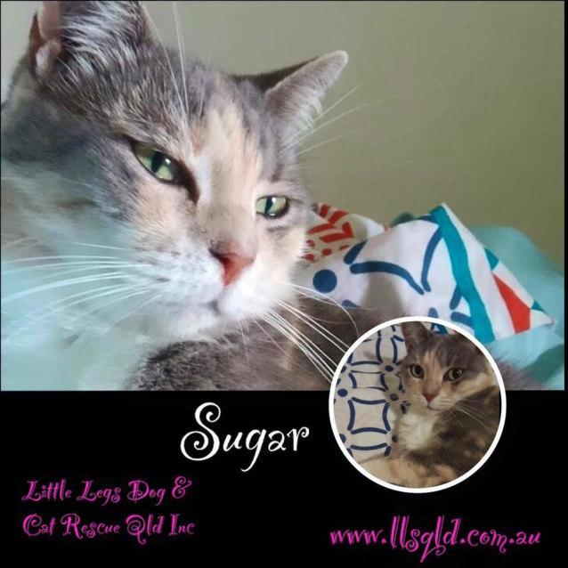 Sugar , Female Domestic Short Hair Cat in QLD , PetRescue