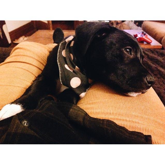 Photo of Atlas Staffy Puppy