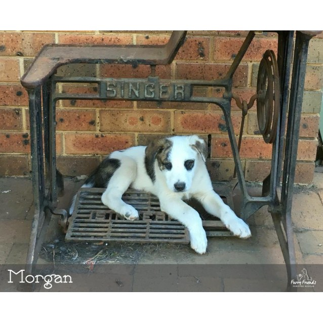 bf276a5a27fb Morgan 🐶 •Adopt Me• 🐶 - Medium Male American Bulldog x Wolfhound ...
