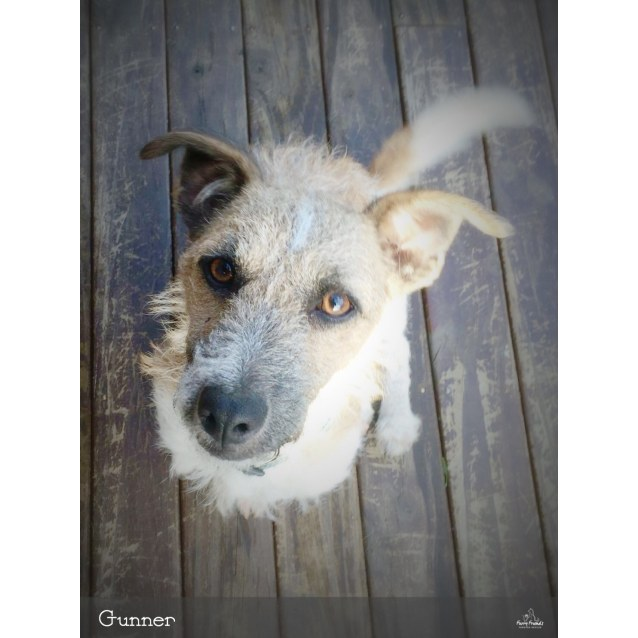 af6e71a016803 Gunner *•Adopt me•* - Small Male Jack Russell Terrier Mix Dog in NSW ...