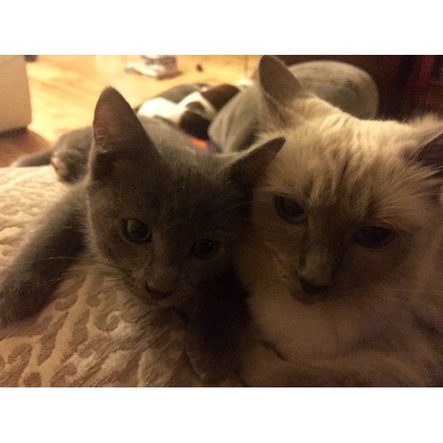 Photo of Russian X Ragdoll Kittys 1 Black Girl 1 Blue Boy