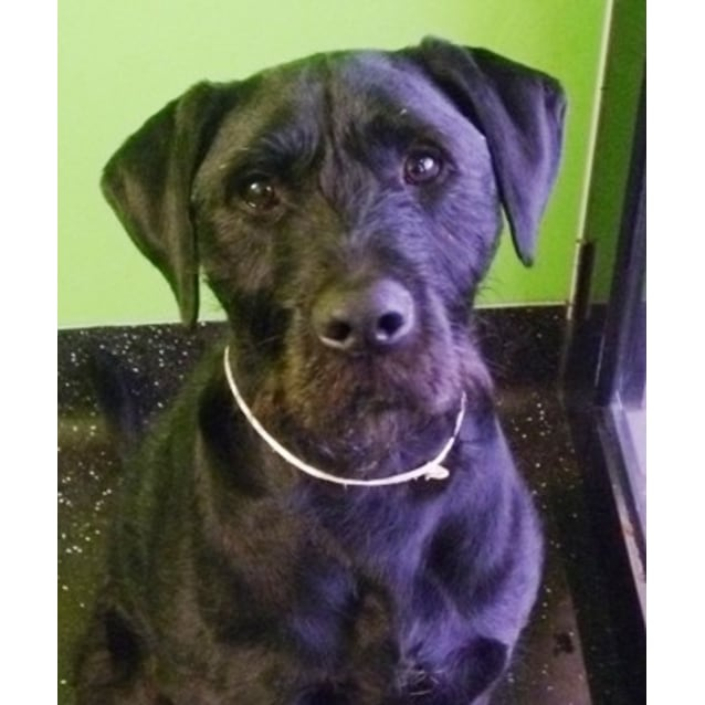 Borris 840685 Large Male German Wirehaired Pointer X Labrador Dog