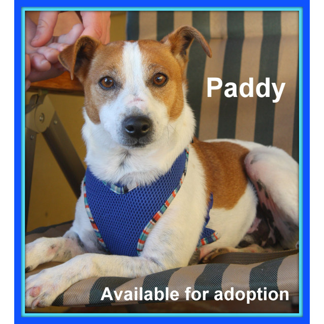 Photo of Paddy ~ Jack Russell (On Trial 16/09/16)