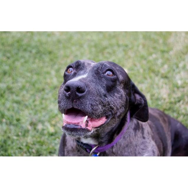Photo of Bindi ~ Senior Staffy (Adopted 16/7/16)