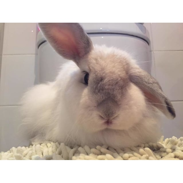 Flopsy Female Jersey Wooly Mix Rabbit In Wa Petrescue