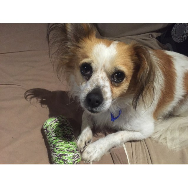 Photo of Aj ~ Papillon X Chi   On Hold For Medical Reasons