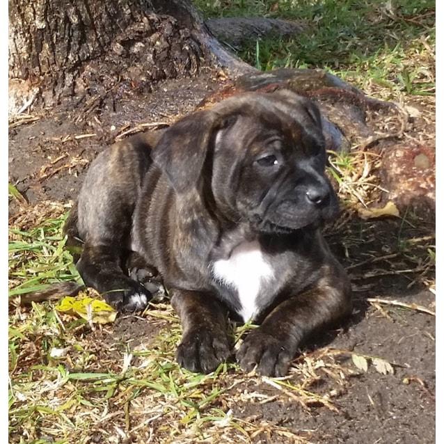 Photo of Freya ~ 9wo Female Staffy Pup (On Trial 14/8/16)