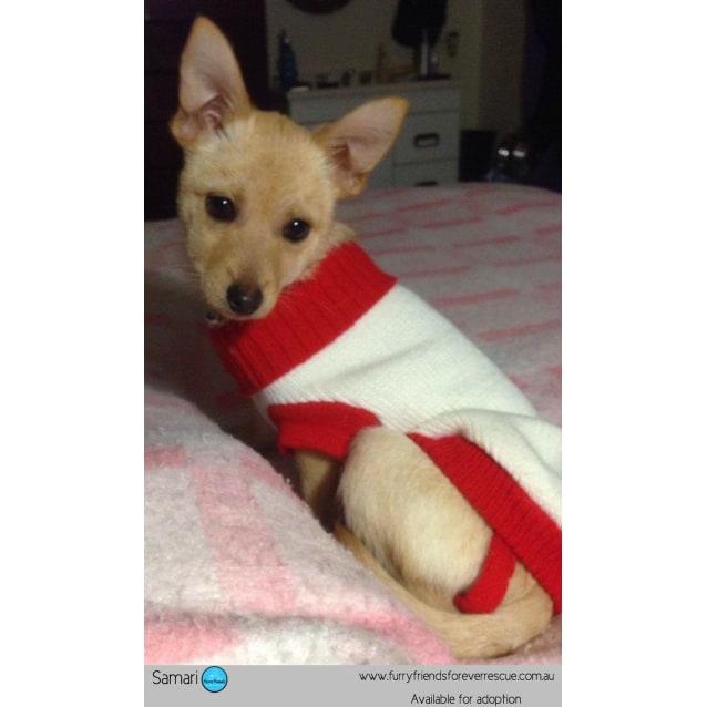 Samari *•Adopt me•* - Small Female Chihuahua x Pomeranian Mix Dog in