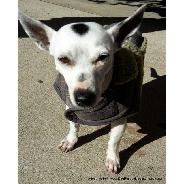 Photo of Kit ~ 7yo Fox Terrier Girl (On Trial 18/07/16)
