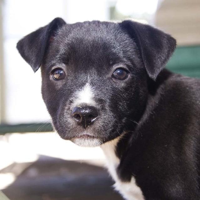Tyson Border Collie X Lab Pup Trial 20 8 16 Medium Male Border Collie X Labrador Mix Dog In Nsw Petrescue