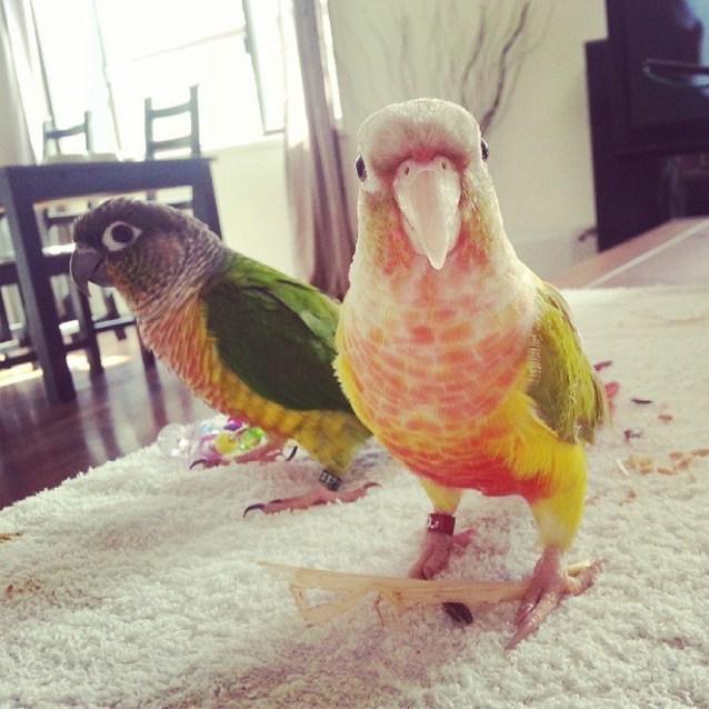 Bowser & Peach - Male Bird in QLD - PetRescue