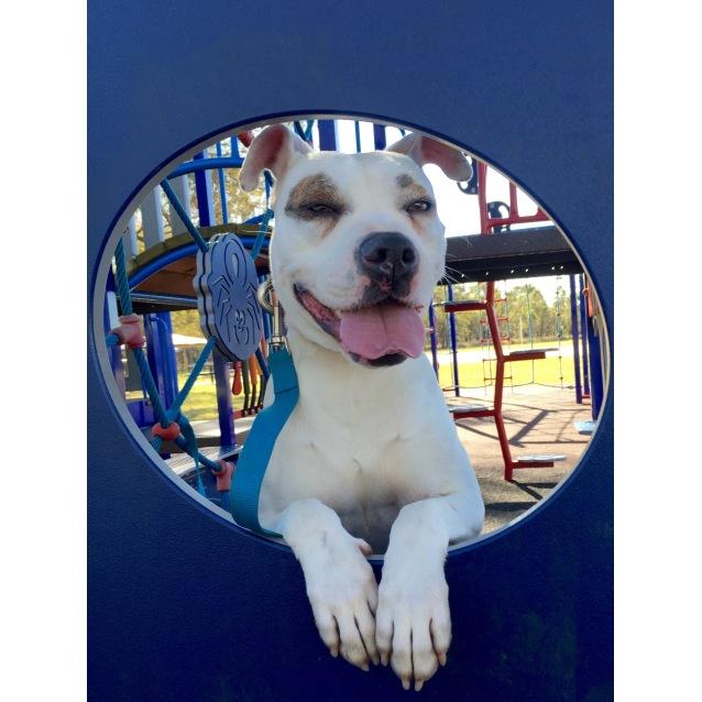 Photo of Astra The American Bulldog
