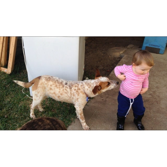 Photo of Marla ~ Corgi X Red Cattle Dog (On Trial 19/10/16)