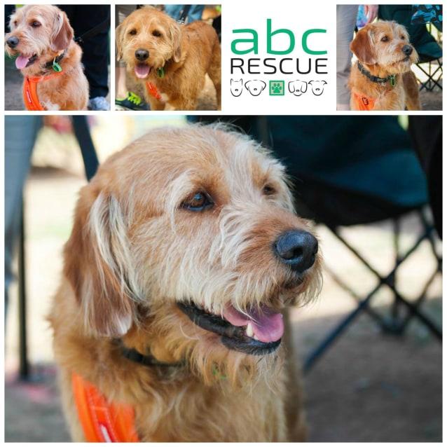 Lochie - Medium Male Golden Retriever x Labradoodle Mix Dog