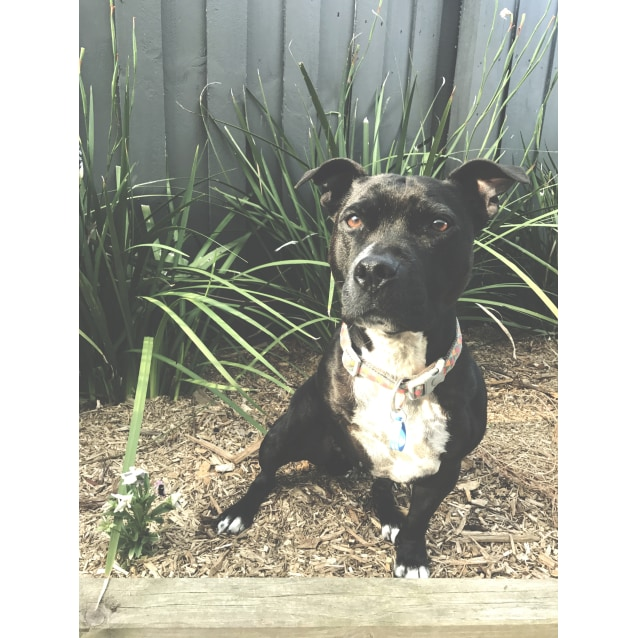 Photo of Pebbles The 3 Legged Staffy