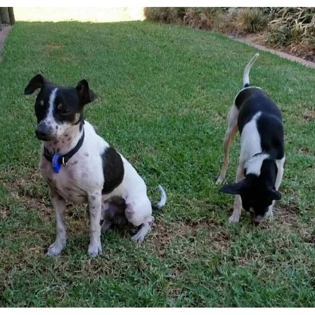 Photo of Max & Millie ~ Fox Terrier Pair (On Trial 5/04/17)