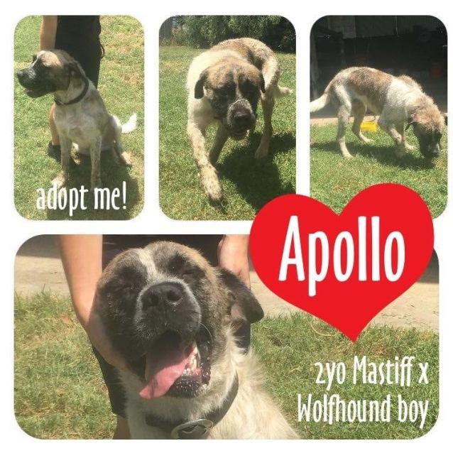 Photo of Apollo ~ 2yo Mastiff X Wolfhound On Trial 31/7/17