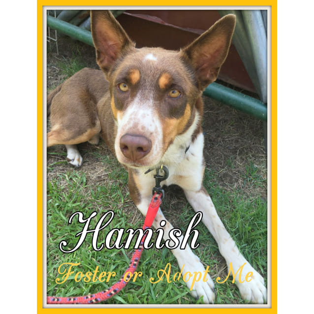 Photo of Hamish ~ Red Kelpie X ~ On Trial 18/2/17