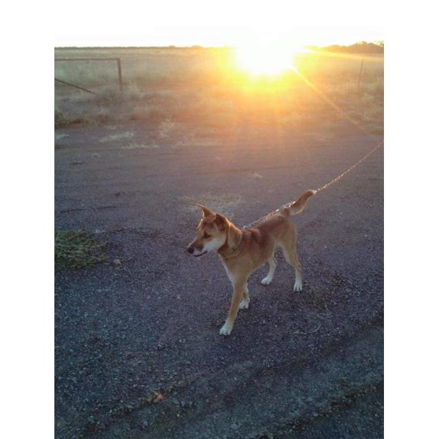 Photo of Django Dingo