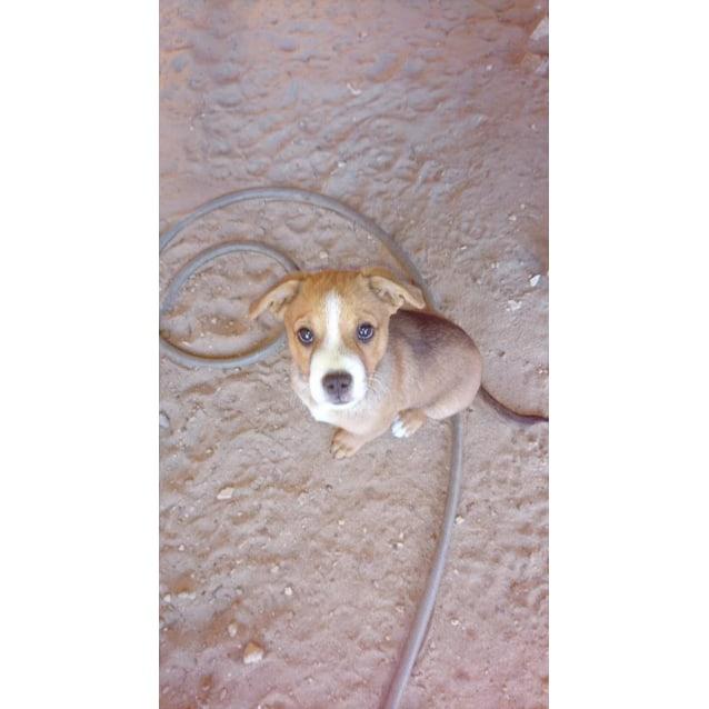 Winston Medium Male Chihuahua X Kelpie X Staffy Mix Dog In Wa Petrescue