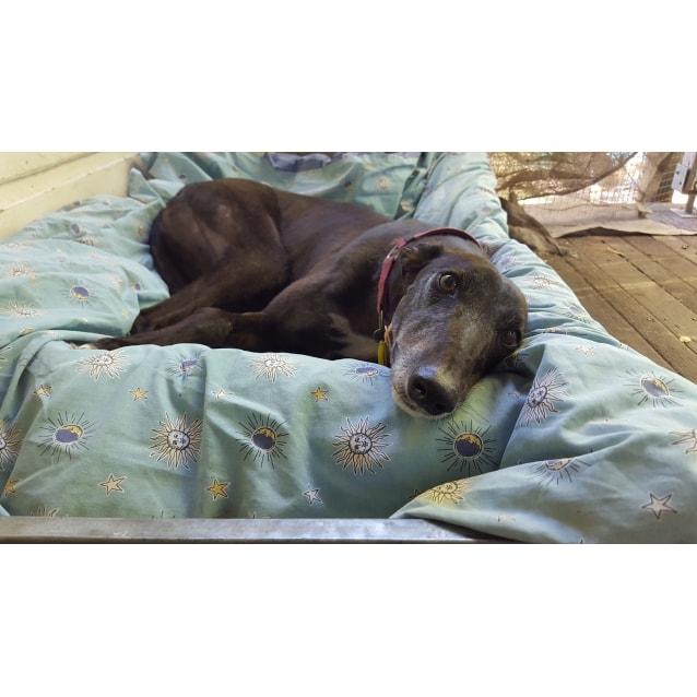 5e2a903c3d99 Suzie - Large Female Greyhound Dog in NSW - PetRescue