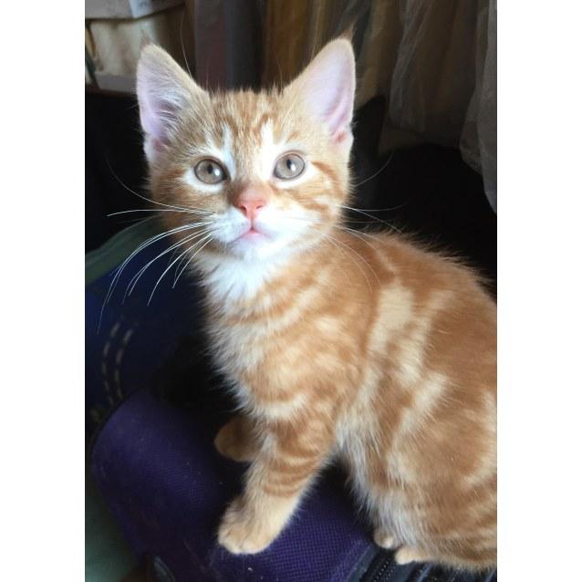 Photo of Mango 🍅 Soft Ginger Kitten