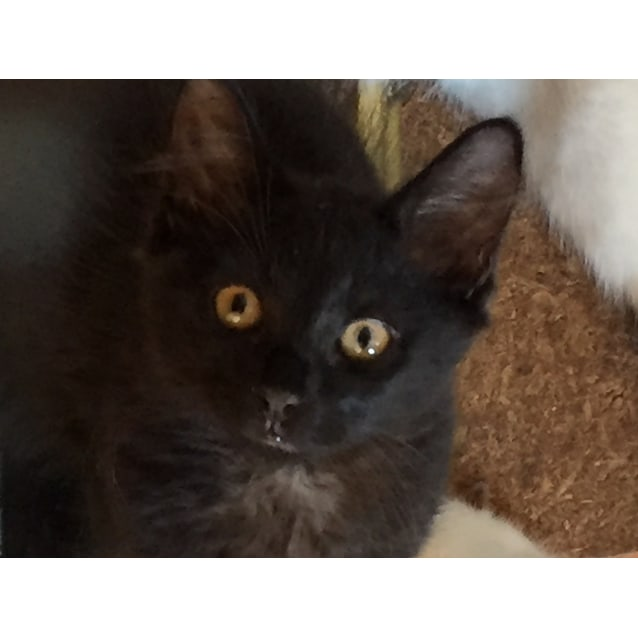 Photo of Ashes 🖤 Jet Black Fluffy Kitten