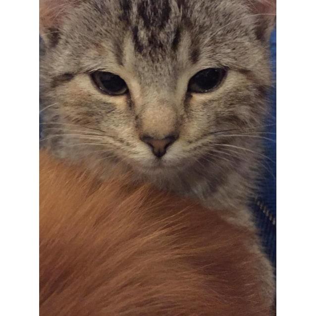 Photo of Crackle 💖 Sweetheart Kitten