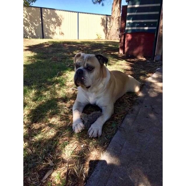 Photo of Max The Bulldog