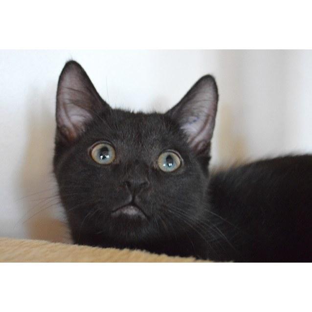 Photo of Ebony ☯️  The Playful Snuggler Kitten